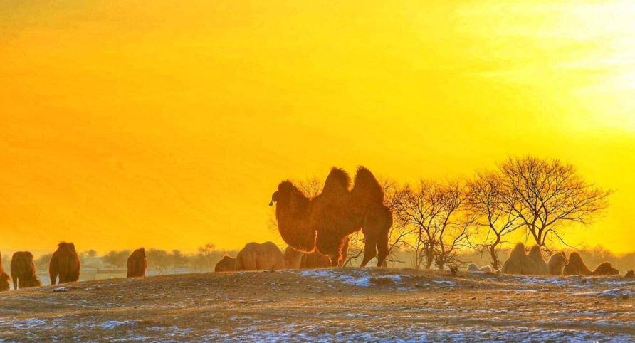 锡林郭勒,走进神秘的骆驼之