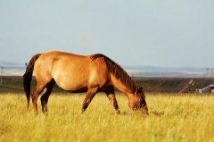 乌珠穆沁黄骠马